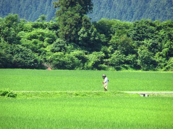 田んぼの畦で草刈りをしている人がいます