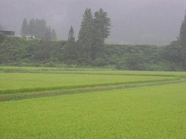 魚沼産コシヒカリの田んぼは弱い雨降りです