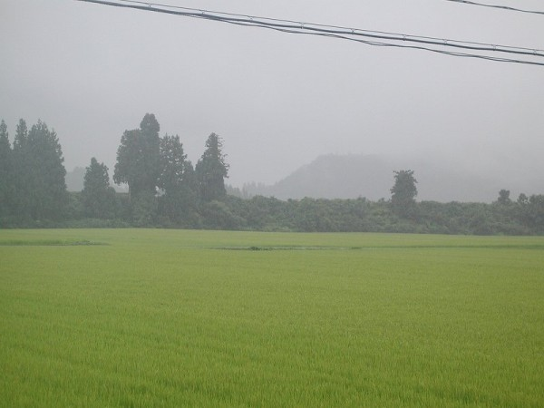 魚沼産コシヒカリの田んぼでは雨が断続的に降り続いています