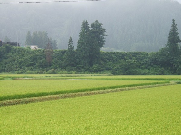 雨上がりの朝の魚沼産コシヒカリの田んぼ