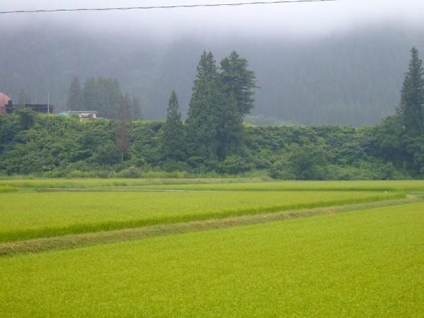 今朝の魚沼産コシヒカリの田んぼは弱い雨降りです