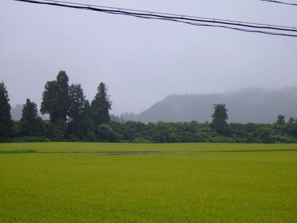 魚沼産コシヒカリの田んぼは弱い霧雨が降っています
