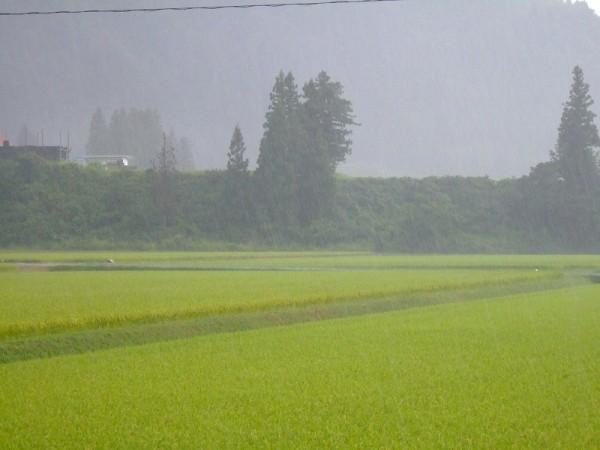 魚沼産コシヒカリの田んぼでは強い雨が降っています