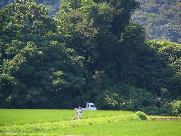 強い陽ざしの中で田んぼの畦の草刈りをしている人がいます