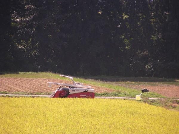魚沼産コシヒカリの稲刈りがどんどん進んでいます