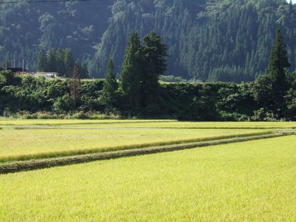 魚沼産コシヒカリの田んぼは秋晴れの気持ちいい天気になりました