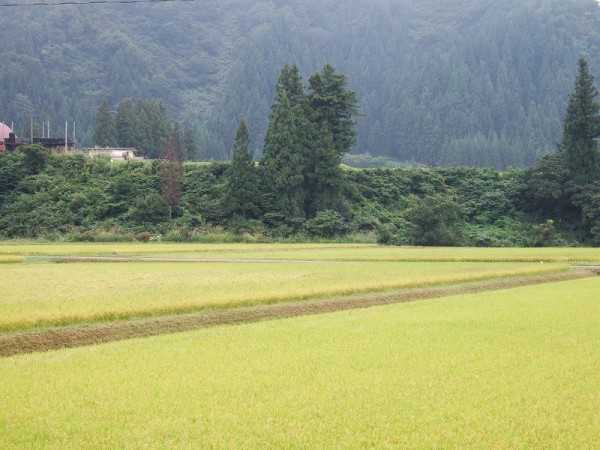 魚沼産コシヒカリの田んぼはくもりでちょっと肌寒く感じます