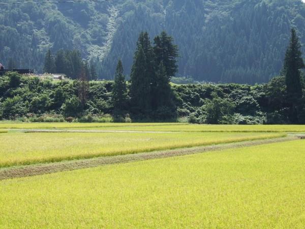 魚沼産コシヒカリの田んぼは爽やかな秋晴れです