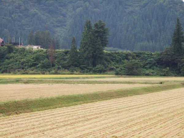連休明けの魚沼産コシヒカリの田んぼはくもりで静かです