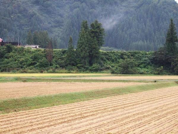 魚沼産コシヒカリの田んぼは雨降りで肌寒く感じます