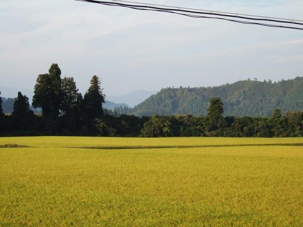 魚沼産コシヒカリの田んぼは今朝もいい天気です