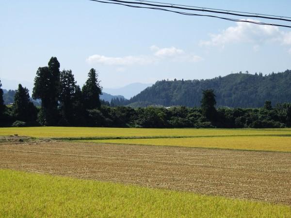 魚沼産コシヒカリの田んぼは今日も稲刈り日和です