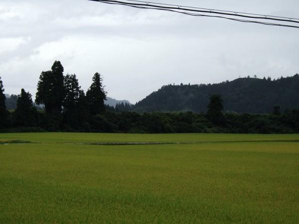 今朝もまた魚沼産コシヒカリの田んぼは雨降りです