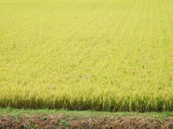稲刈りを待つ魚沼産コシヒカリの田んぼ