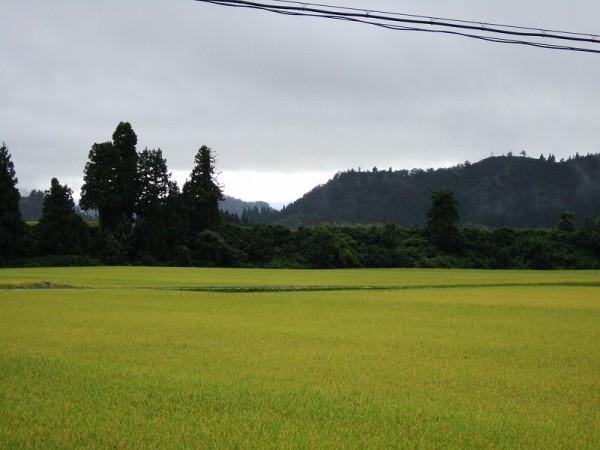 午後になって予報通り雨降りになりました