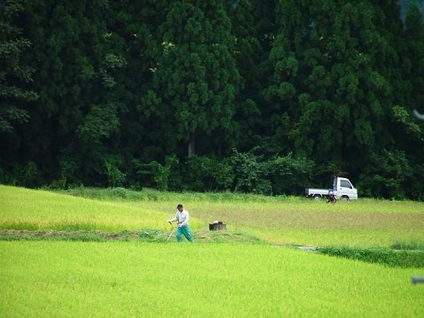 田んぼで草刈りをしている人がいます