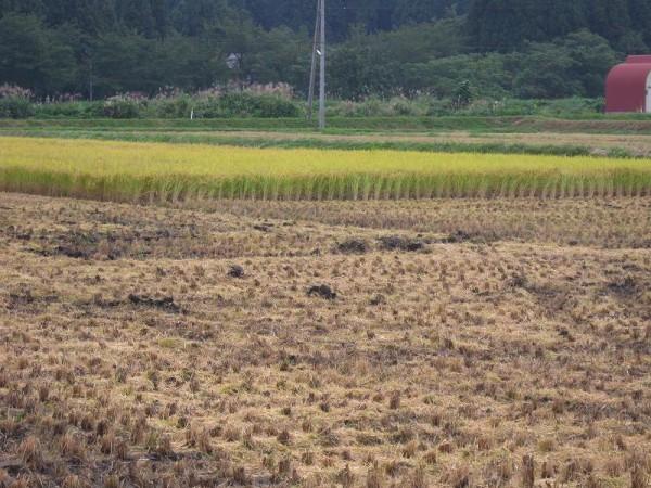 魚沼産コシヒカリの田んぼでは稲刈りがかなり進みました