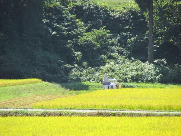 魚沼産コシヒカリの田んぼでの稲刈り作業