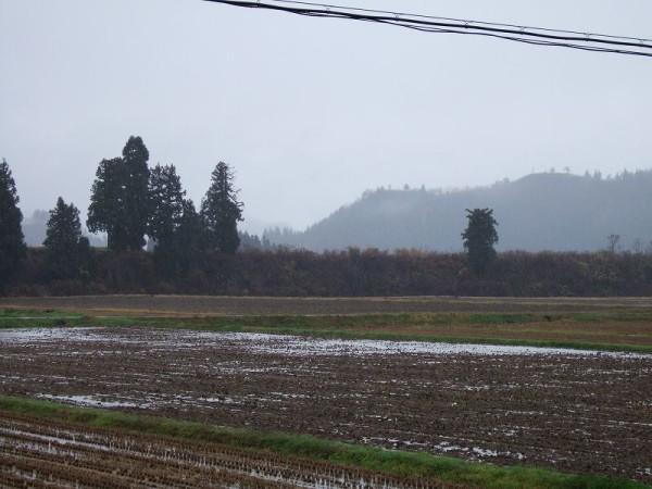 魚沼産コシヒカリの田んぼでは今日も冷たい雨が降っています