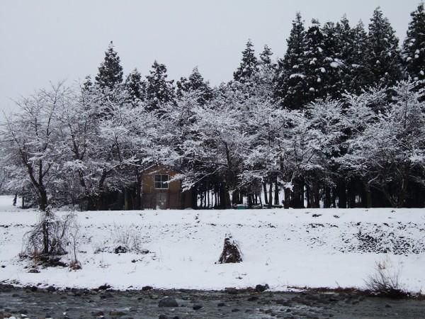 水無川の土手の桜の木が白くなっています