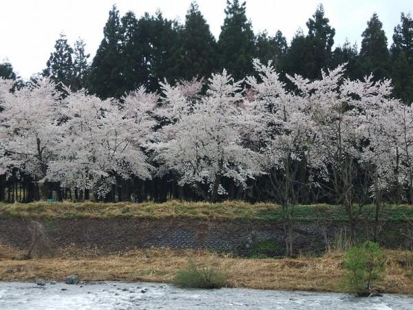 水無川の土手の桜が散り始めています