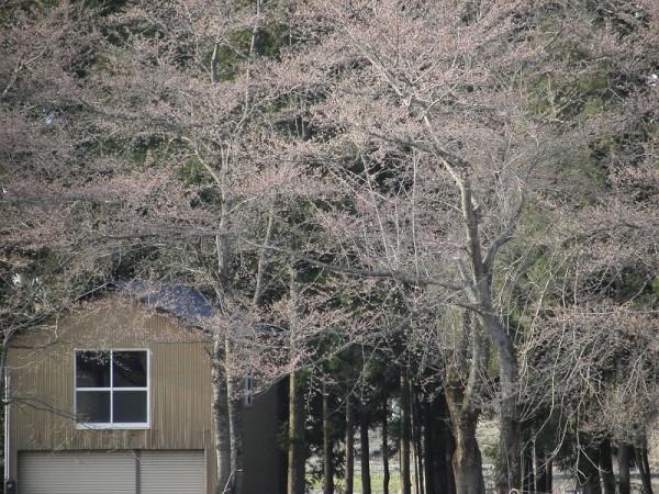 水無川の土手ではもうすぐ桜が咲きそうです