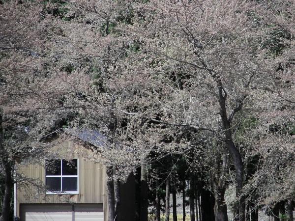 水無川の土手の桜がいっきに散ってしまいました