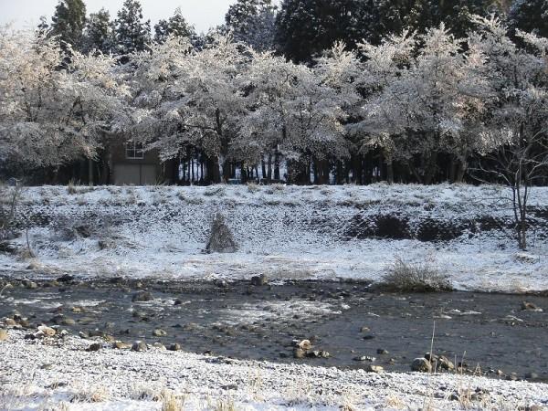 水無川の土手ではほぼ満開の桜が雪を被っています