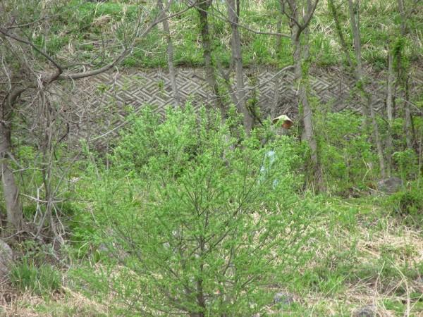 水無川の土手で木の芽摘みをしている人
