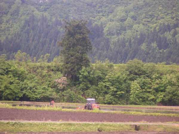 田んぼでトラクターが動いています