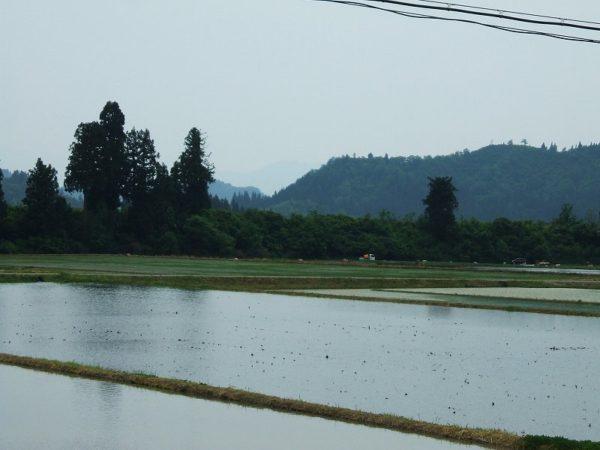 今日の魚沼産コシヒカリの田んぼ