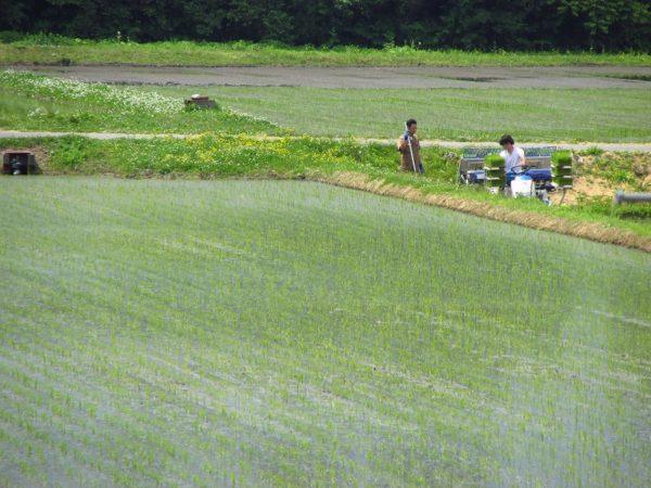 田植え作業が行われています