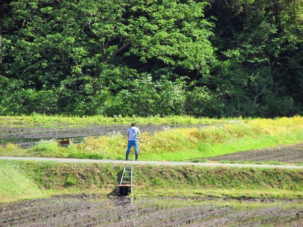 魚沼産コシヒカリの田んぼで草刈り作業が行われています