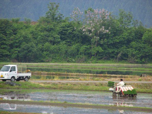 魚沼産コシヒカリの田んぼでは朝から田植え作業が行われています