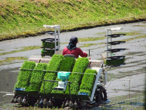 今日は田植え作業のピークです