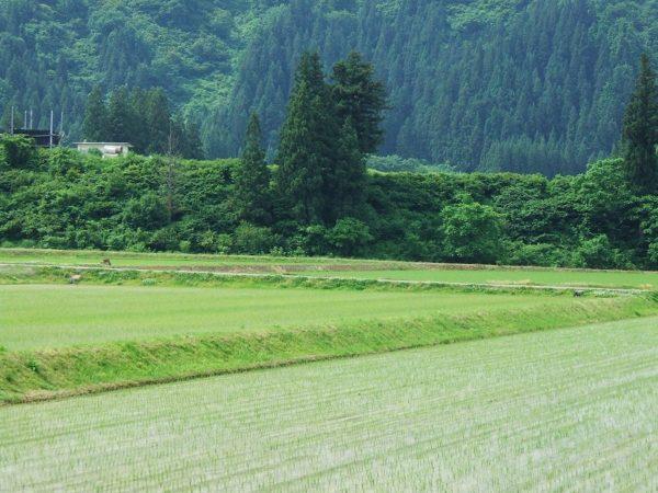 田んぼがだんだん緑色になってきました