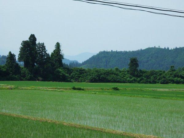 魚沼産コシヒカリの田んぼは朝から暑いです