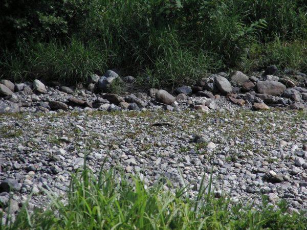 水が枯れた水無川の川底に草が生えてきました
