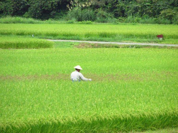 田んぼの中で作業をしている人がいます