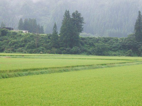 魚沼産コシヒカリの田んぼは霧に覆われていて涼しい朝でした