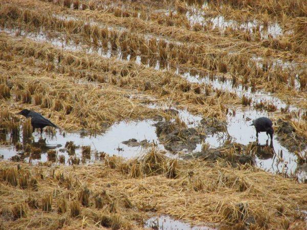 稲刈りが終わった田んぼにカラスがいます
