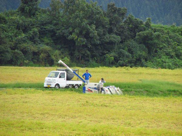 魚沼産コシヒカリの田んぼで稲刈り作業が行われています