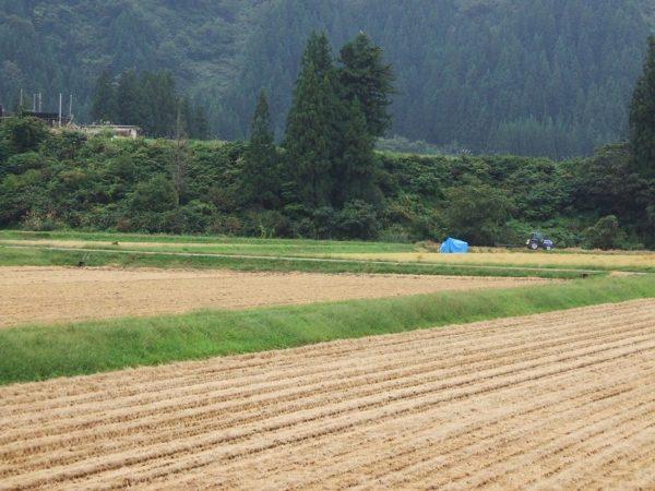 稲刈りの季節の魚沼産コシヒカリの田んぼ