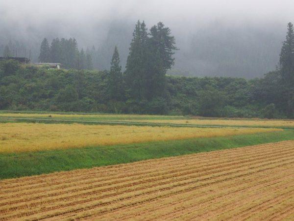 今日は雨降り・・・稲刈り作業が中断しています
