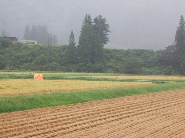 今年の稲刈り時期は雨続きです