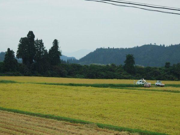 魚沼産コシヒカリの田んぼでは稲刈り作業が真っ盛りです