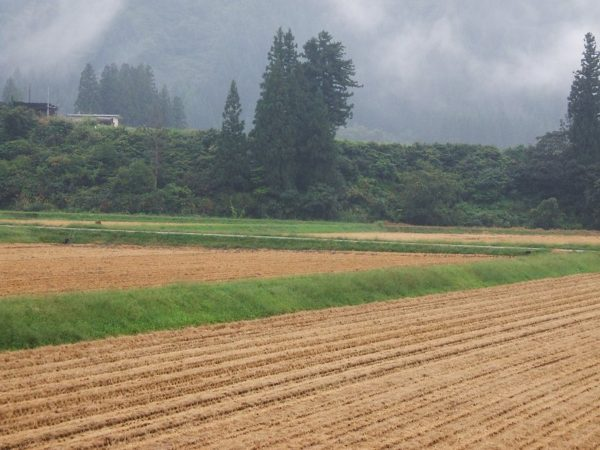 今日は雨降りで稲刈り作業が中断しています