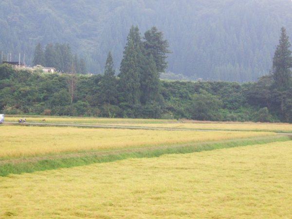 昨日から稲刈りが始まっています