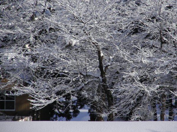 白くなった水無川の土手の桜の木