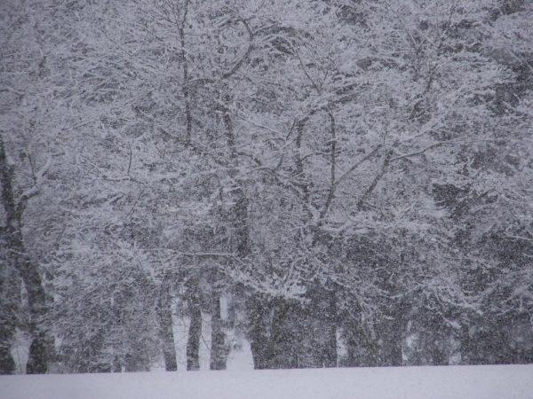 水無川の土手の桜が白くなっています
